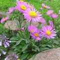 Alpine Aster Photo and characteristics