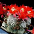 Crown Cactus Photo and characteristics