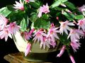 House Plants Easter Cactus (Rhipsalidopsis) Photo; pink
