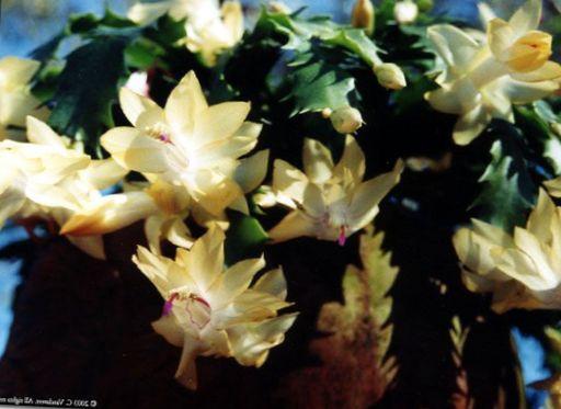Le piante domestiche cactus di natale schlumbergera foto for Faccende domestiche in inglese