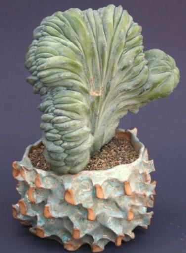 Le piante domestiche candela blu mirtillo cactus for Faccende domestiche in inglese