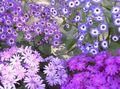 Cineraria cruenta Photo and characteristics