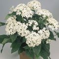 Pentas, Star Flower, Star Cluster Photo and characteristics