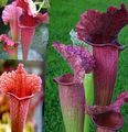 Pitcher Plant Photo and characteristics