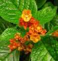 Chrysothemis Photo and characteristics
