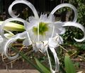 Spider Lily, Ismene, Sea Daffodil Photo and characteristics