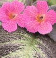Episcia Photo and characteristics