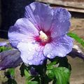 Hibiscus Photo and characteristics