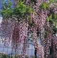 Wisteria Photo and characteristics