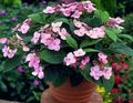 Hydrangea, Lacecap Photo and characteristics