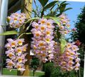 Dendrobium Orchid Photo and characteristics