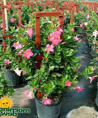 huis bloemen dipladenia mandevilla foto roze. Black Bedroom Furniture Sets. Home Design Ideas