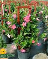 Dipladenia, Mandevilla Photo and characteristics