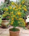 House Flowers Acacia  Photo; yellow