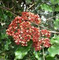 Red Leea, West Indian Holly, Hawaiian Holly Photo and characteristics