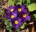 Primula, Auricula Photo and characteristics