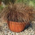 Carex, Sedge Photo and characteristics