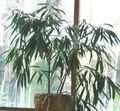 House Plants Bamboo (Bambusa) Photo; green