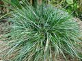 Blue Moor-grass Photo and characteristics