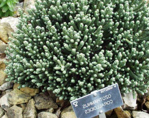 Helichrysum karry plante immortelle foto gr n for Plante immortelle