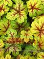 Heucherella, Foamy Bells Photo and characteristics