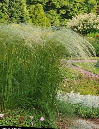 Le piante ornamentali piuma d 39 erba ago erba erba lancia for Piante graminacee ornamentali