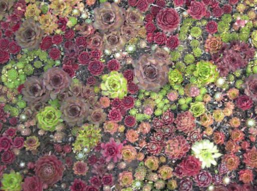 Des plantes d coratives joubarbe sempervivum photo vineux for Les plantes decoratives