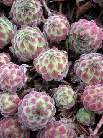Des plantes d coratives joubarbe sempervivum photo panach for Les plantes decoratives