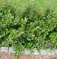 Hedge Cotoneaster, European Cotoneaster Photo and characteristics