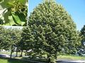 Common Lime, Linden Tree, Basswood, Lime Blossom, Silver Linden Photo and characteristics