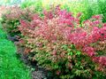 Euonymus Photo and characteristics