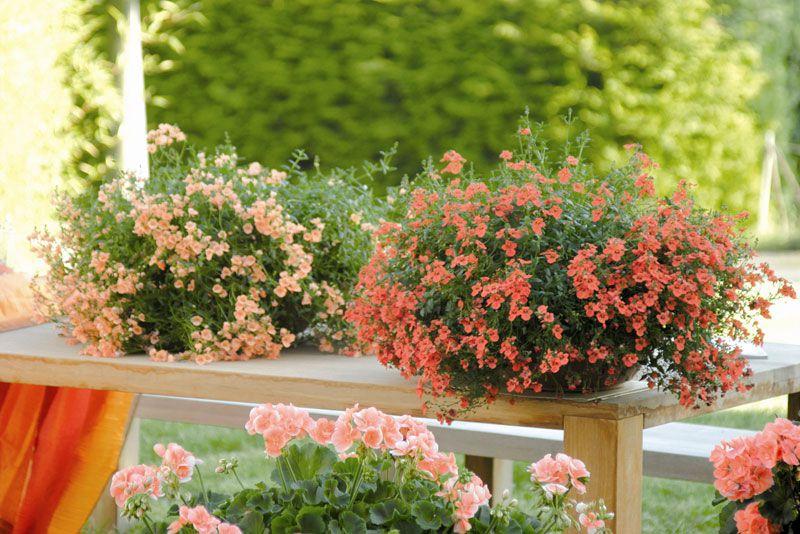 кафе Рузе садовые ампельные цветы названия и фото камня